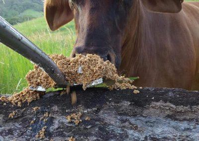 BAA cow & brewers grain - Mossman, FNQ, Australia