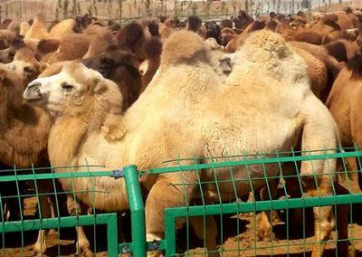 Camel Conference - Gobi Desert, Mongolia