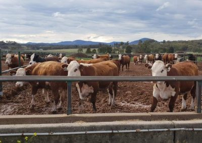 UNE Research Feedlot