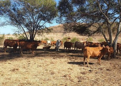 ELEVAGES BALLANDE CATTLE CO - NEW CALADONIA